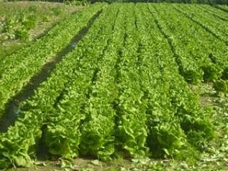 La coltivazione MICRONATURALE di lattuga Romana. Utilizzo di zeolitite a chabasite e chabasitemicrobica