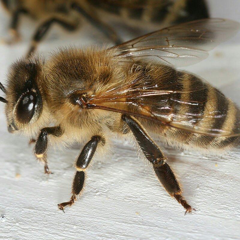 Micronaturale: l'ape carniola o Norica (Apis mellificaCarnica).