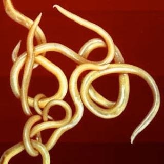 Micronaturale: I nematodi