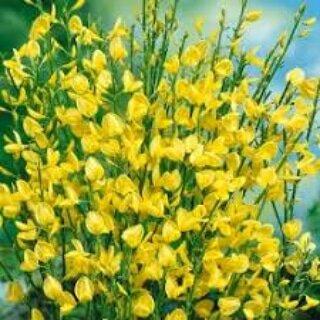 La coltivazione MICRONATURALE diCytisus