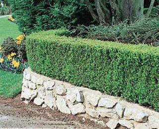 La coltivazione MICRONATURALE di Buxussempervirens