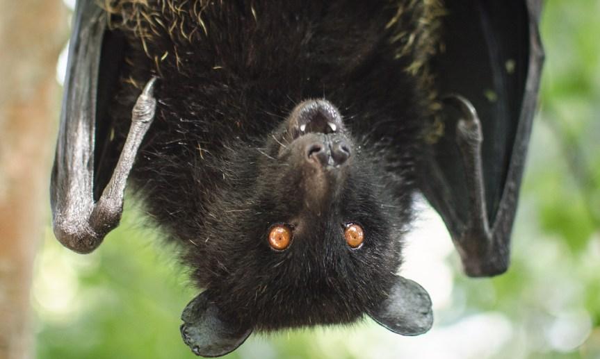 Micronaturale: I pipistrelli nel controllo della cimiceasiatica
