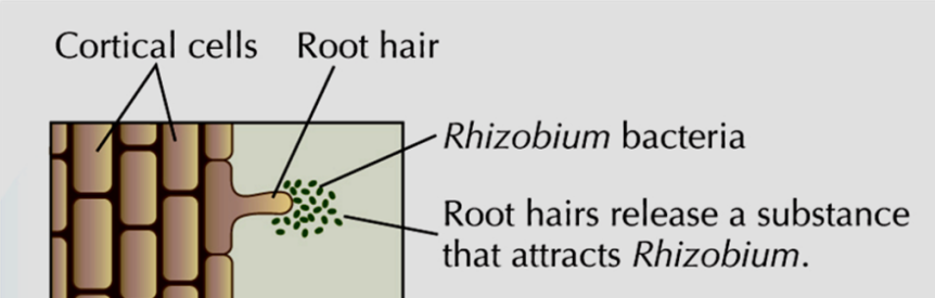 Per quale motivo un fungo simbionte micorriza la pianta? Cosa è la ceppospecificità?