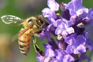 Influenza dei fattori ambientali sulla flora apistica e sulla produzione dinettare