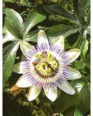 La coltivazione MICRONATURALE diPassiflora