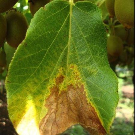 Relazioni tra lo sviluppo delle malattie delle piante (batteriosi) e le condizioni del suolo. Uso dei PGPR nel controllo dellefitopatologie.