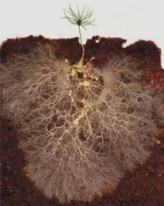 La simbiosi e la patogenesi tra piante efunghi