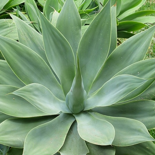 L'agave e le sueproprietà