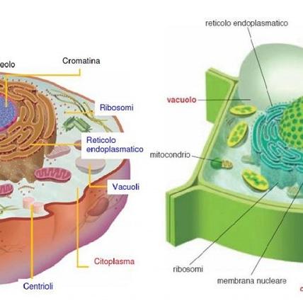 Il turgore delle cellulevegetali