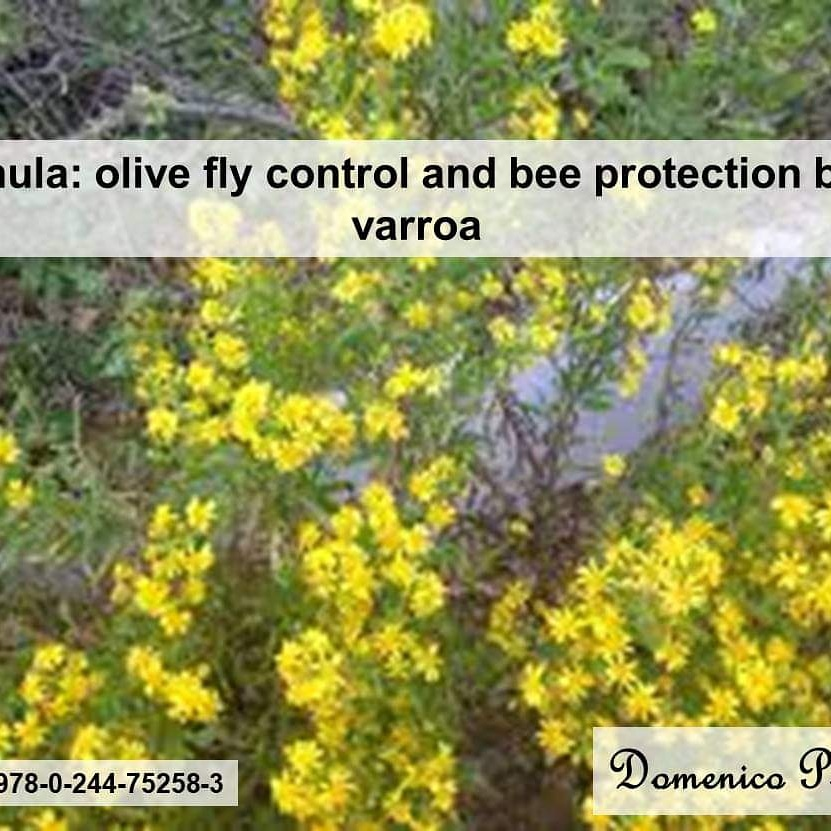 Inula: olive fly control and bee protection byvarroa
