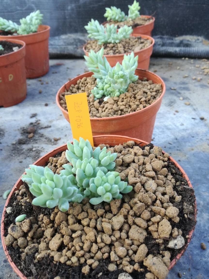 Sperimentazioni su Pachyphytum e Sedumburrito