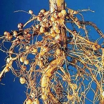 Formazione dei noduli tra rizobi eleguminose