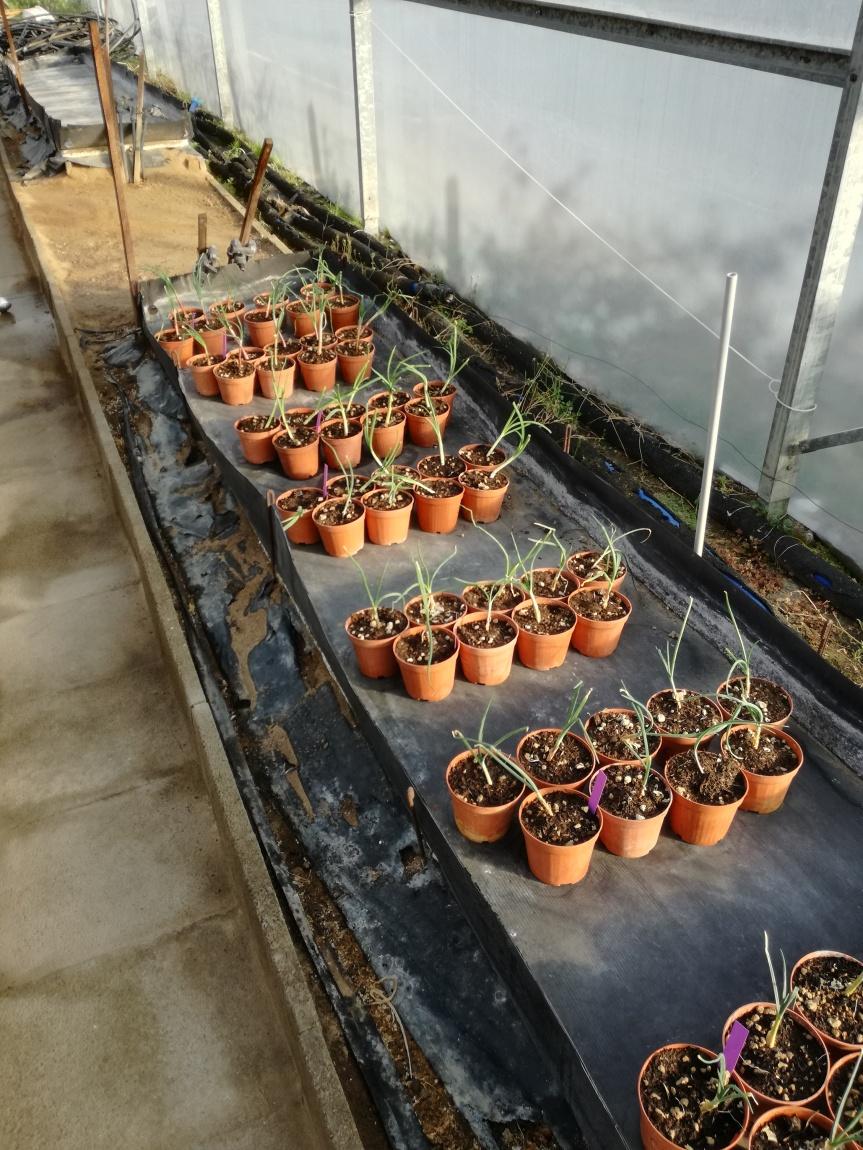 Biocontrol e biostimolazione di cipolla con Effectivemicroorganisms