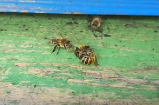 Il saccheggio delle api e lagenetica