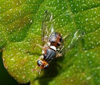 Il controllo della mosca dell'olivo con inula viscosa (protocollod'uso)