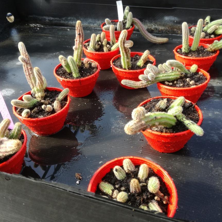 Micorrize e stimolazione della crescita e delle fioriture di Chamaecereussylvestris