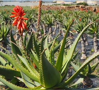 Article: Effect of chabazitic-zeolites and effective microorganisms on growth and chemical composition of Aloe barbadensis Miller and Aloe arborescens Miller