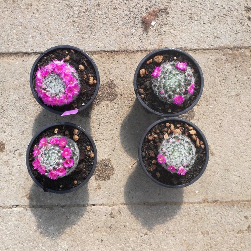 Trichoderma harzianum e stimolazione delle fioriture su Mammillarialaui