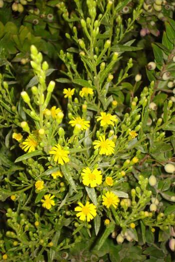 Utilizzo di estratti derivati dalle foglie e dai fiori di Inula viscosa per la biostimolazione dellepiante