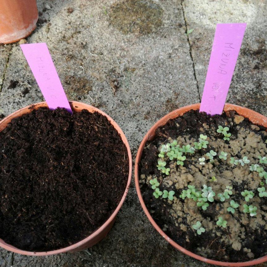 Germinazione di Mizuna Verde e Viola con Chabasitemicronizzata