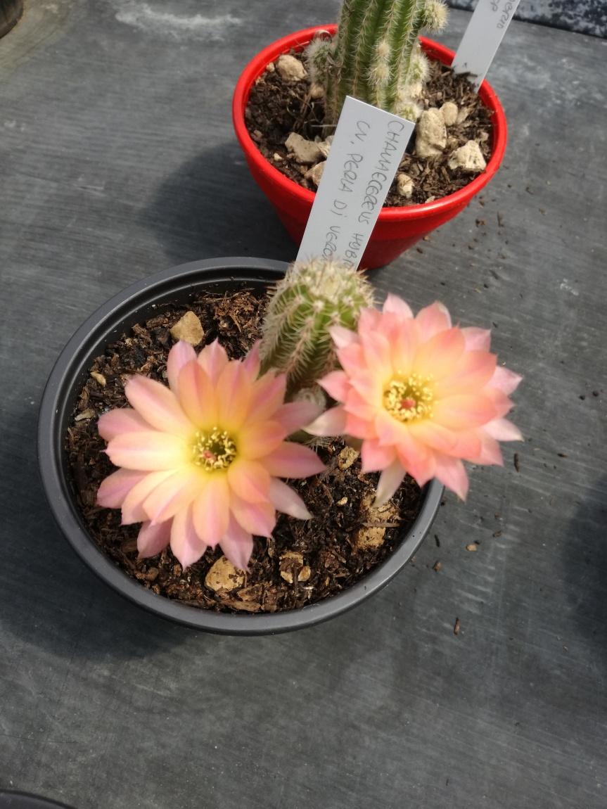 Rizobatteri nella biostimolazione della fioritura di piante diChamaecereus
