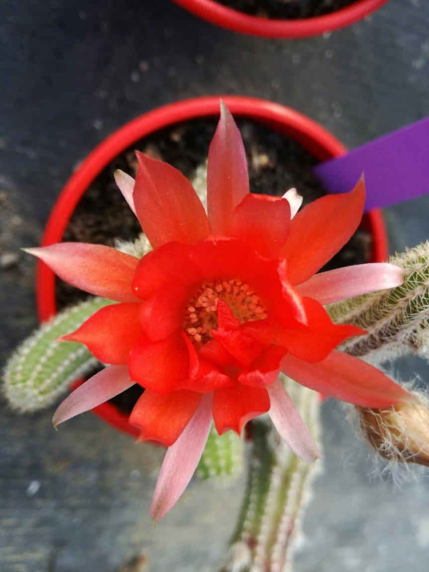 Rizobatteri nelle fioriture diChamaecereus.