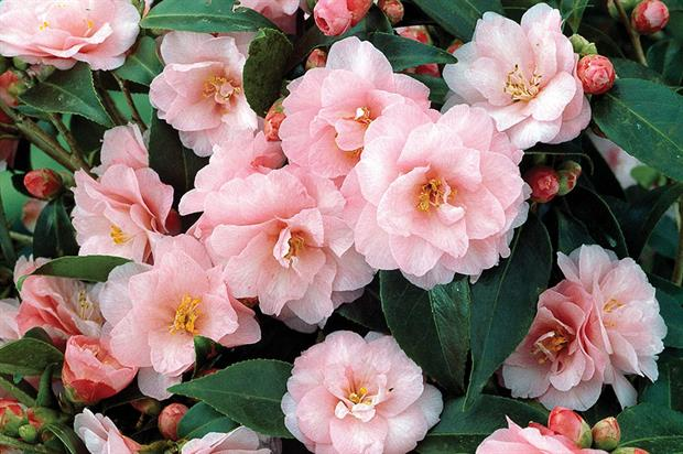 Zeolites as additives for the rooting of Camellia japonica and ProteaceaeJuss