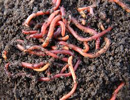 EARTHWORM HUMUS FOR THE GROWTH OF VEGETABLEPLANTS