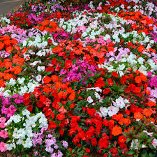 Improvement quality of impatiens and oleander plants with chabazitic-zeolites