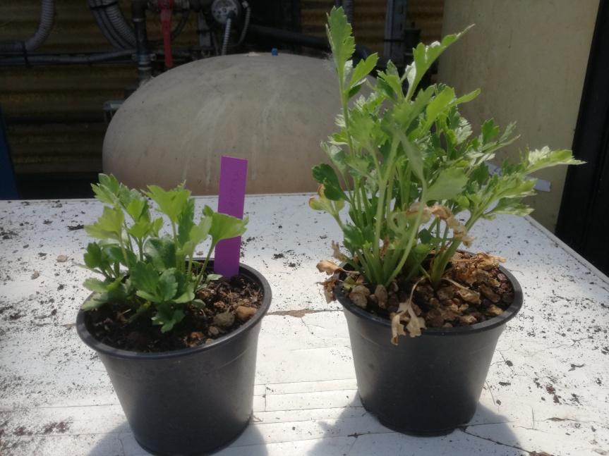 Zeolitite a chabasite sullo sviluppo vegetativo diranuncolo