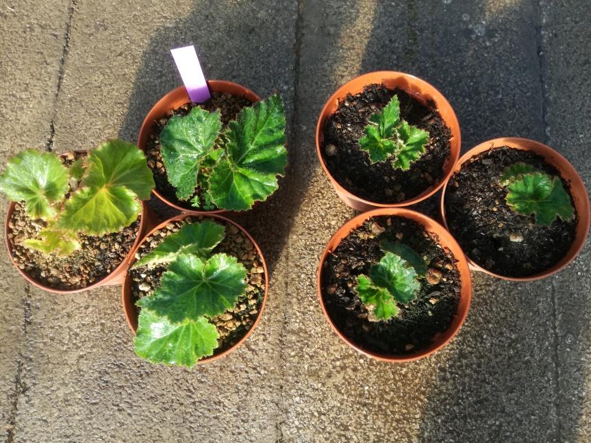 Zeolitite per la coltivazione dibegonia