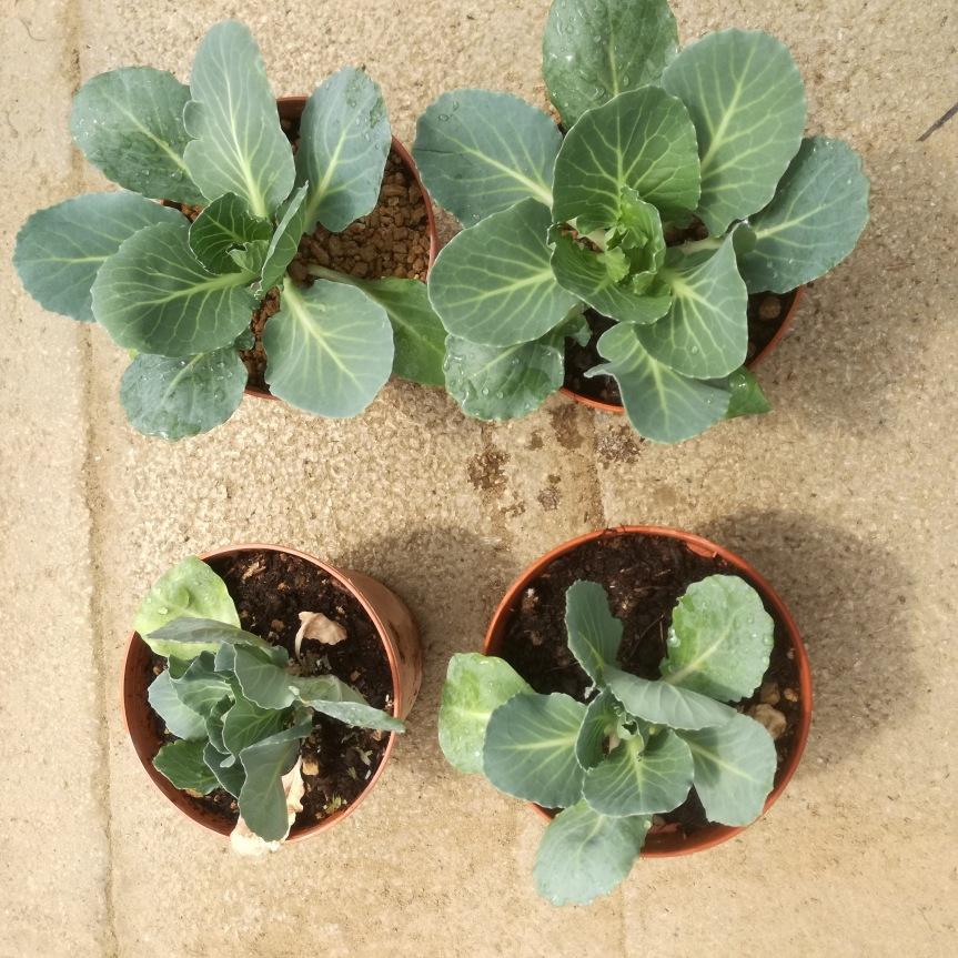 Zeolitite a chabasite per la coltivazione di cavolocappuccio