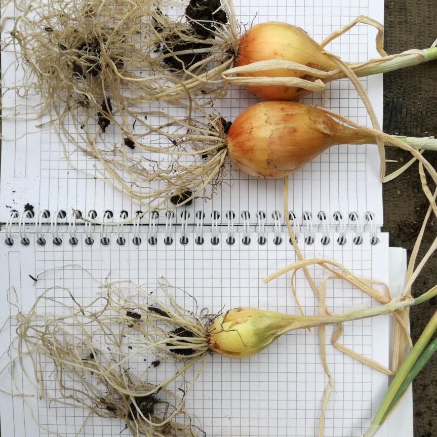 Effective microorganisms per la coltivazione dicipolla