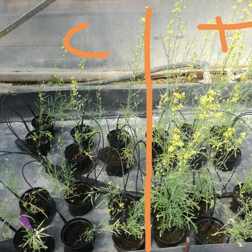 Fertilizzazione delle piante con alga spirulina come sostituto della fertilizzazione di sintesi ( BrassicaMizuna)