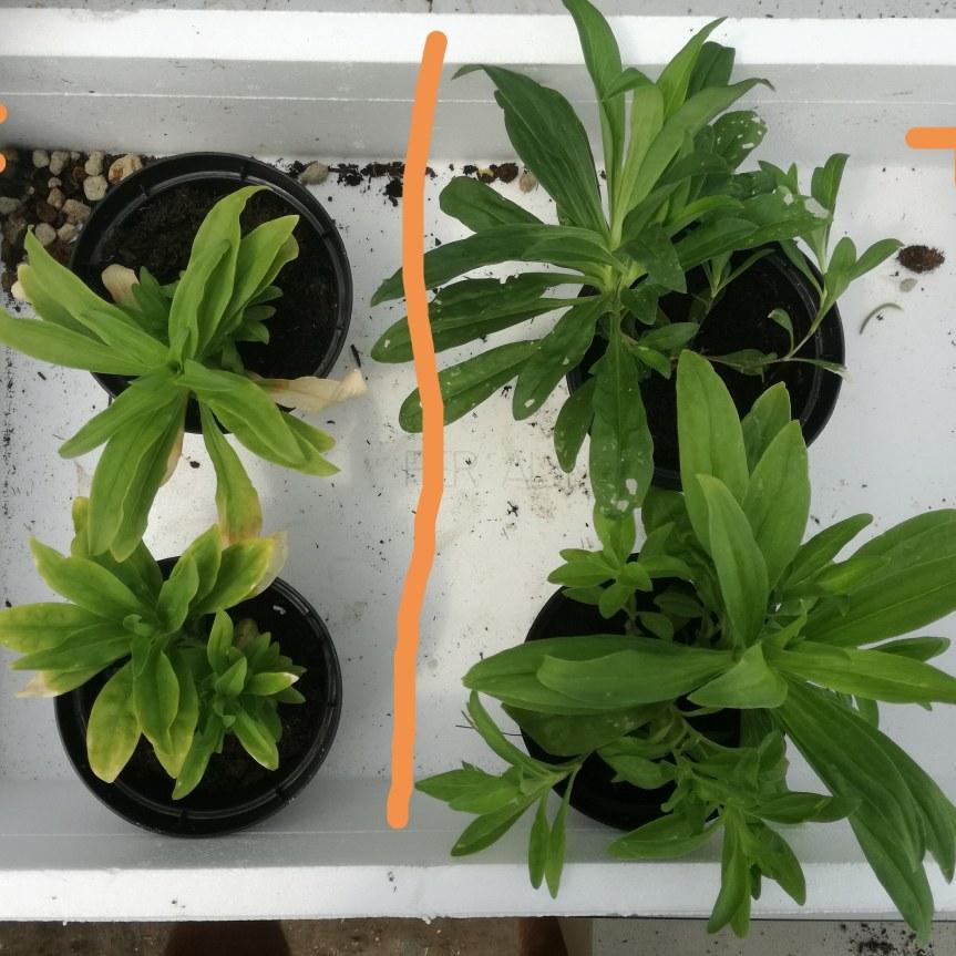 Gigaspora margarita nella biostimolazione di Garofano dei poeti (valutazione della crescita delle piante con diversi livelli di concimazione fosforica nelsubstrato)