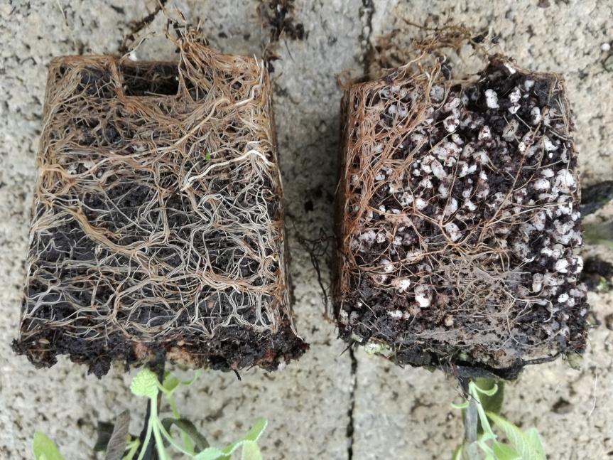 Associazione rizobatteri e lombrichi per il miglioramento della qualità di piante dibasilico