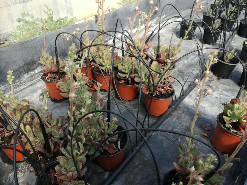 Effetto di Trichoderma harzianum e bacillus subtilis sulla crescita e fioritura diEcheveria