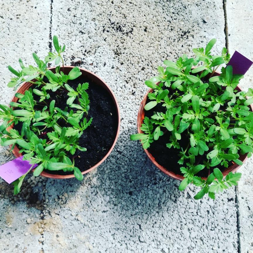 Estratto di camomilla nella germinazione e crescita di piante di tagete, lupino ecalendula