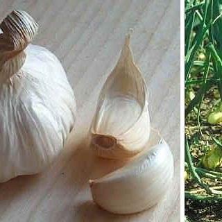 Aglio (allium sativum) per il controllo di afidi eacari