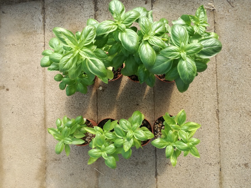 Innovazione: humus di lombrico liquido per la coltivazione di basilico (collaborazione con il Centro di LombricolturaToscano)
