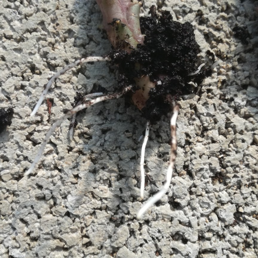 Valutazione dell'uso di acidi umici nella radicazione di piantesucculente