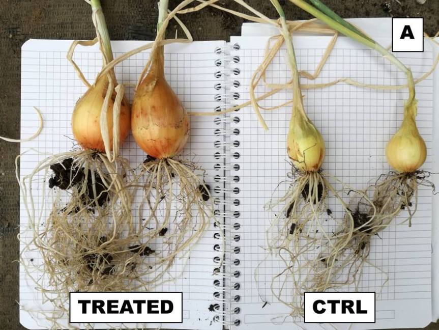 Article: Effective microorganisms for the cultivation and qualitative improvement of onion (Allium cepa L.).
