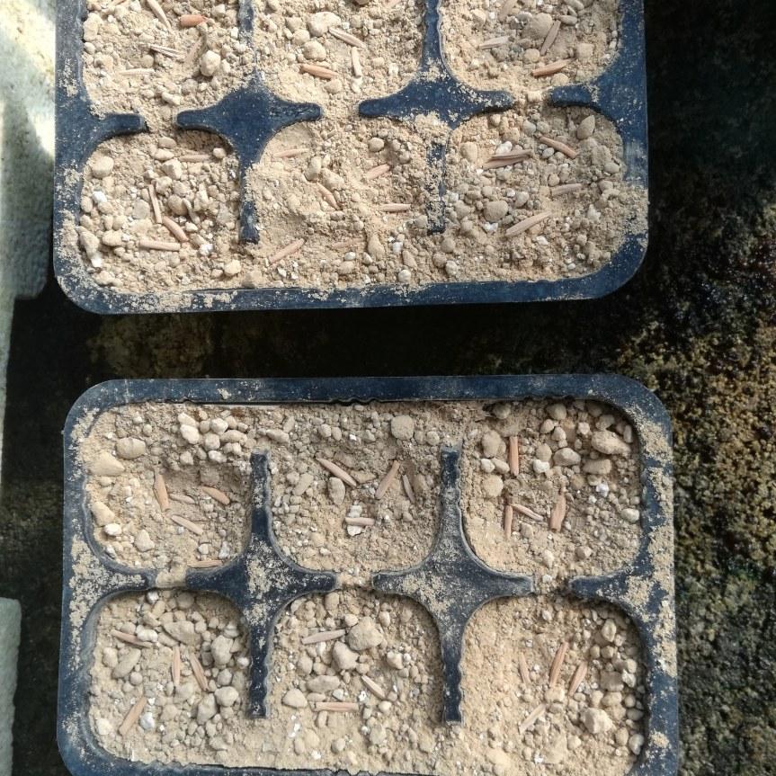 Substrati alternativi per la coltivazione e germinazione di Adeniumobesum
