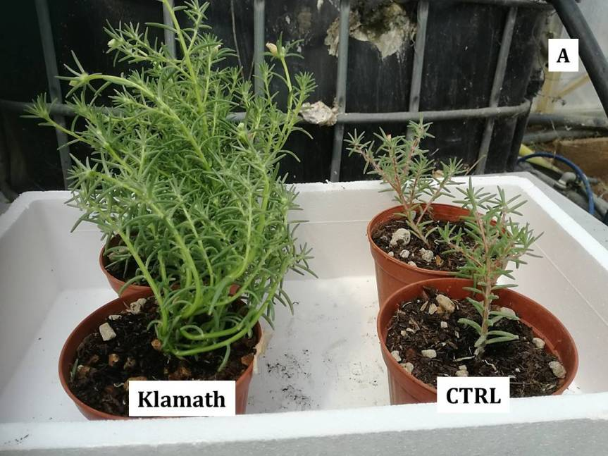 Article: Possible use of Spirulina and Klamath algae as biostimulants in Portulaca grandiflora (Moss Rose)