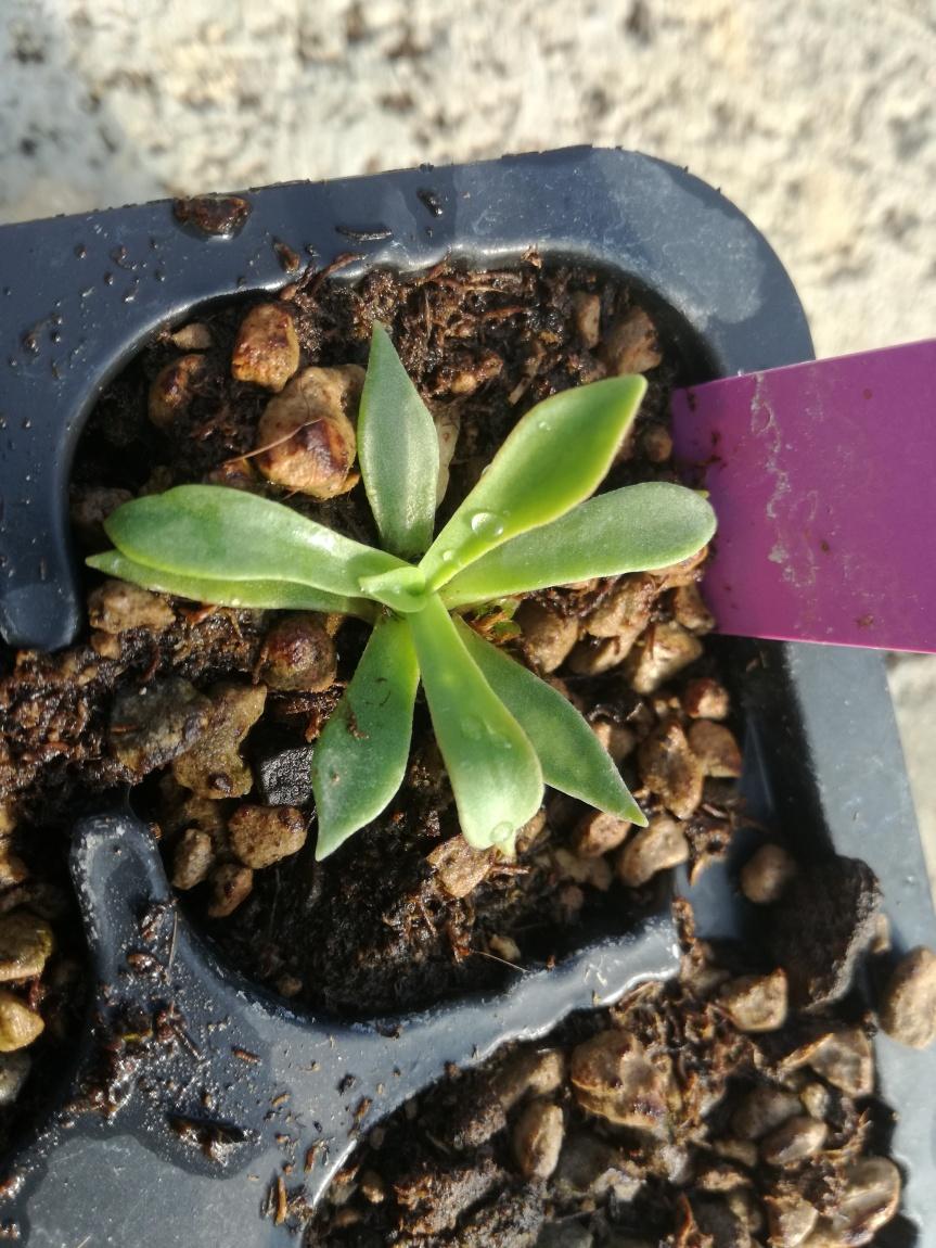 Gigaspora Margarita per la coltivazione dilewisia