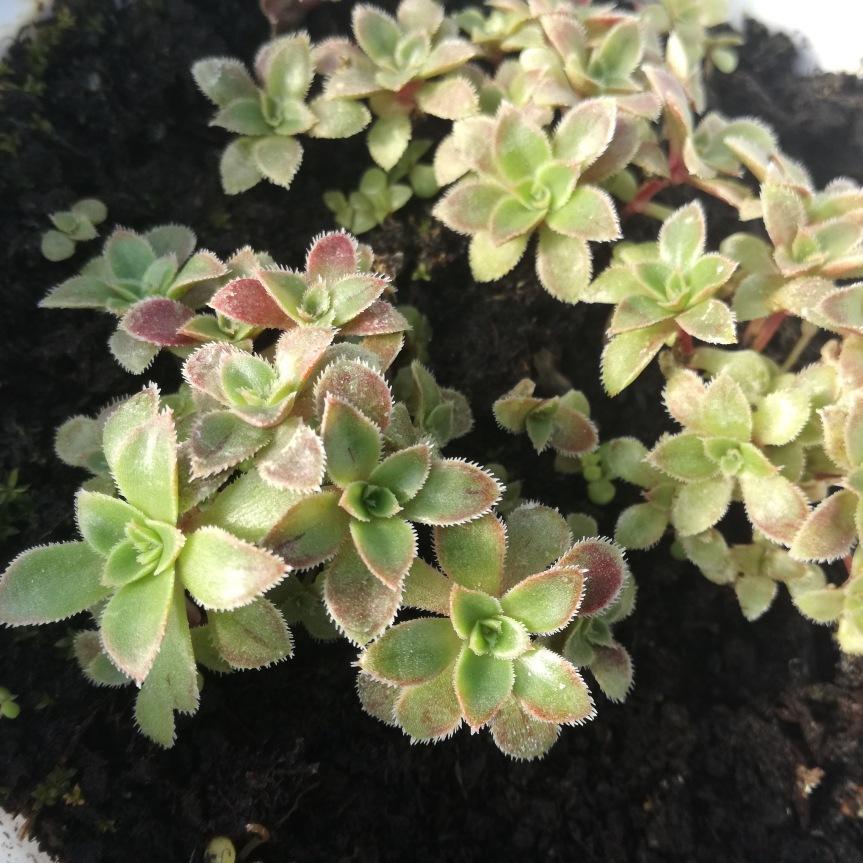 Uso di tarassaco come biostimolante della germinazione e crescita di piante diAeonium