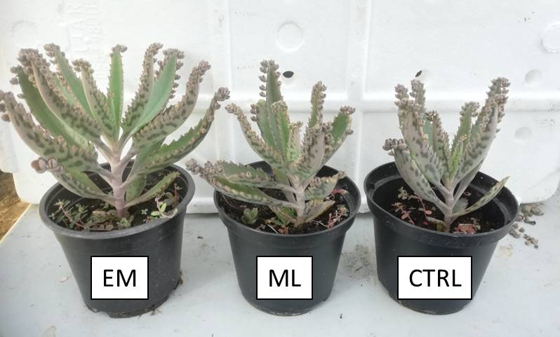 Article: Effective microorganisms for germination and root growth in Kalanchoe daigremontiana