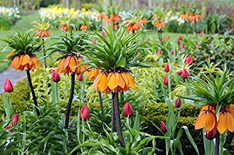 Le bulbose: periodo di fioritura eforzatura