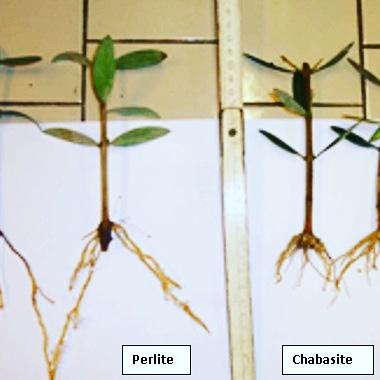 La difesa delle giovani piante di olivo dalfreddo