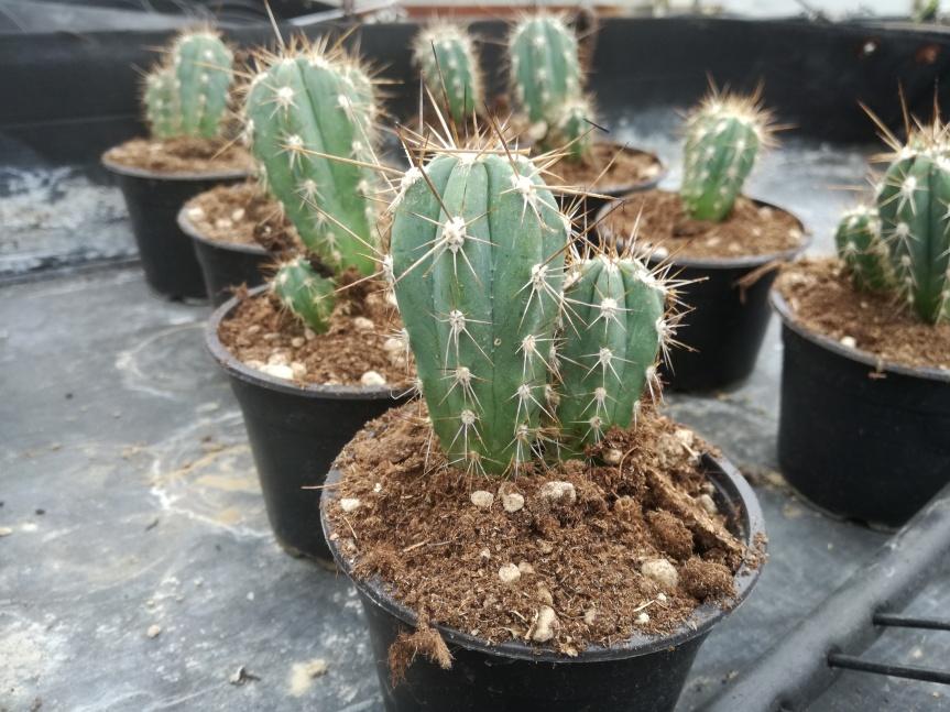 Ascophyllum nodosum nella coltivazione di notocactus ecereus